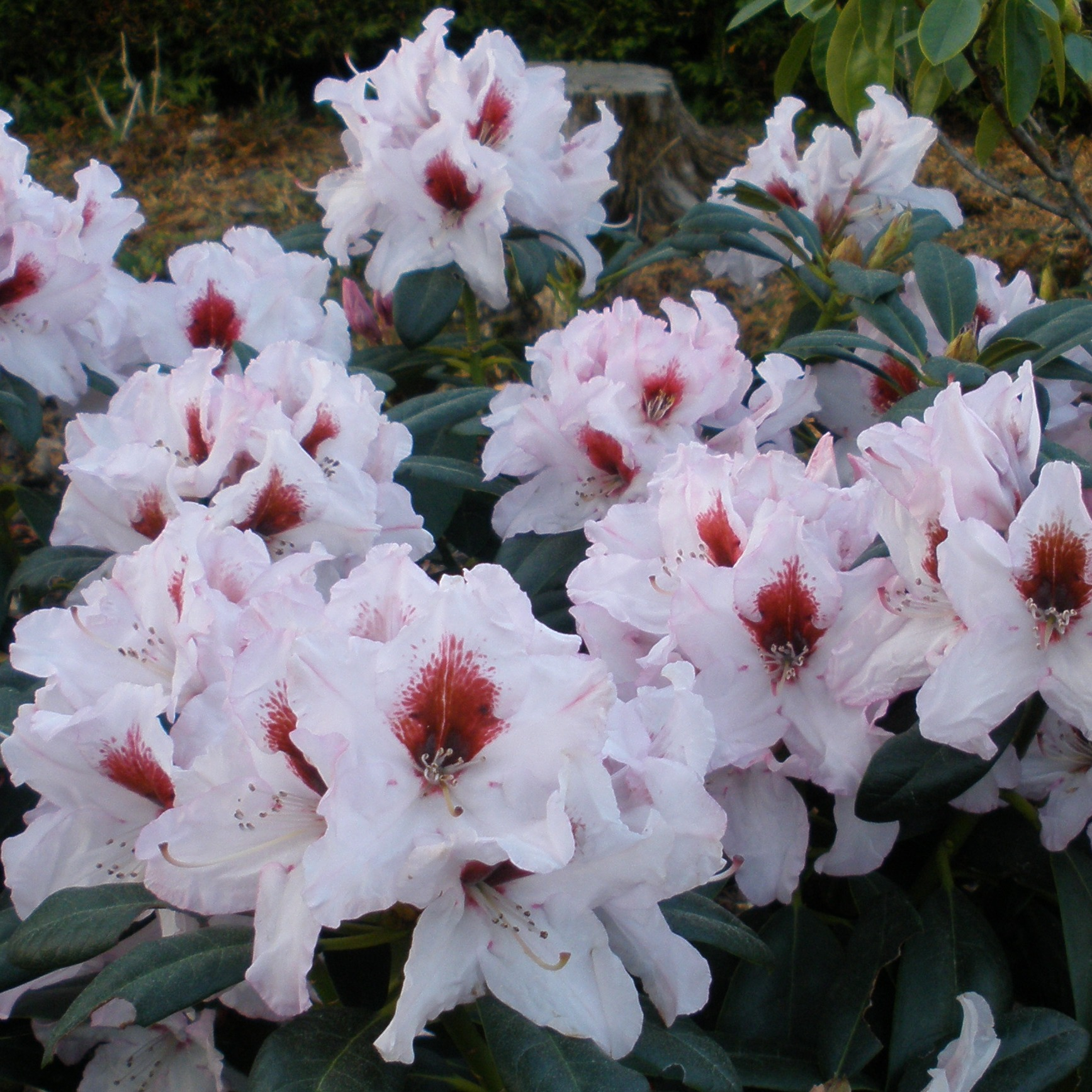 Millais Nurseries Grow One Of The Widest Ranges Rhododendrons In World Plus Camelliaagnolias They Have Achieved 4 Consecutive Gold Medals At